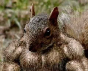 funny-squirrel-body-builder